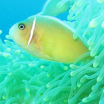 Anemone Fish - Lolo