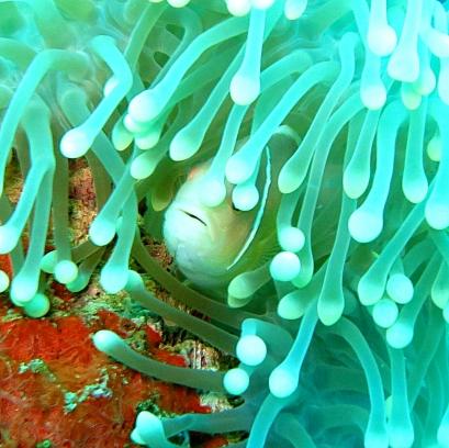 Anemone Fish - Lolo Sianipar