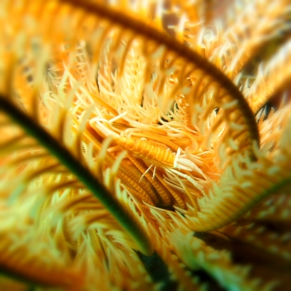 Crinoid shrimp - Yellow and white