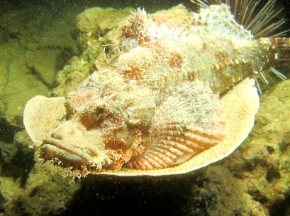 G Scorpionfish by Lolo Sianipar