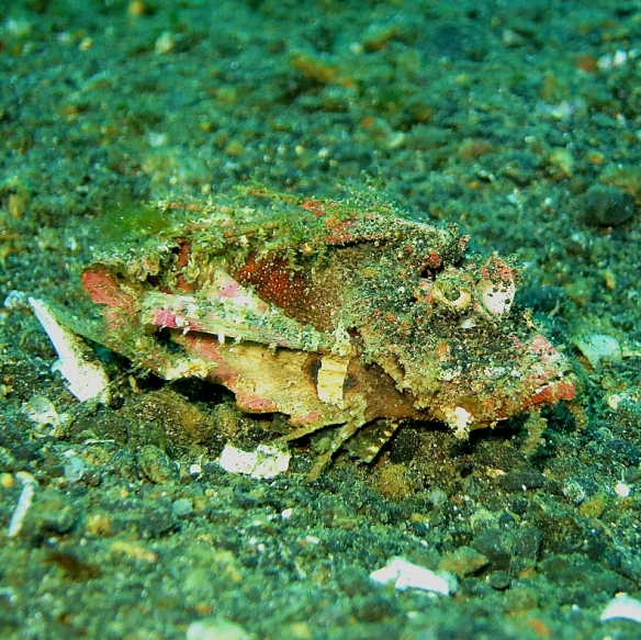 Ghost Scorpionfish by Lolo Sianipar 1