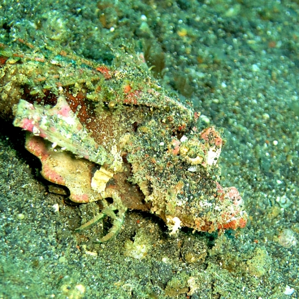 Ghost Scorpionfish by Lolo Sianipar