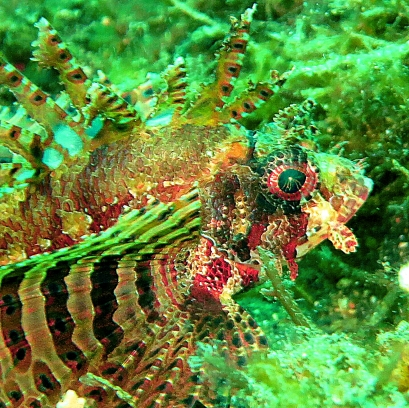 Lolo Sianipar - Lionfish