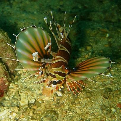 Lolo Sianipar - Lion fish