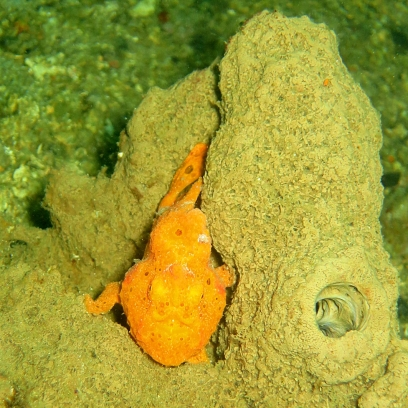 Frogfish - Lolo Sianipar
